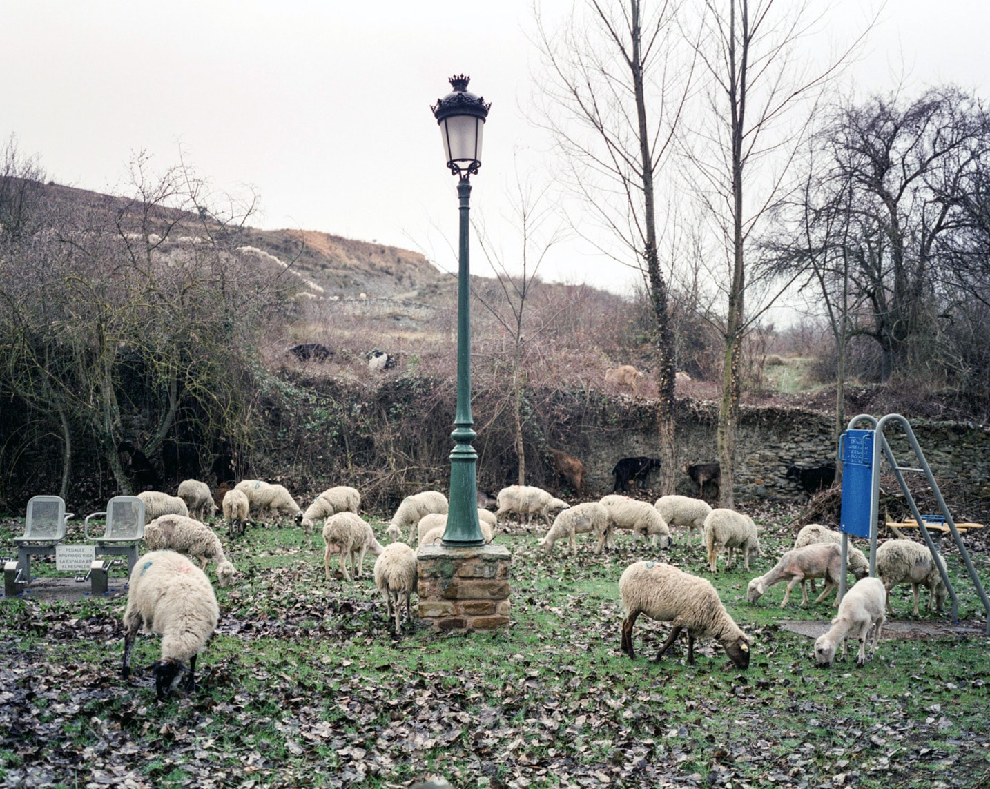 Sheep in Yanguas